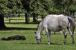 Lipizzaner mares and foals on the pasture