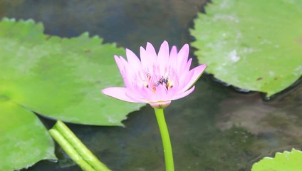 Bee on violet Lotus Flower