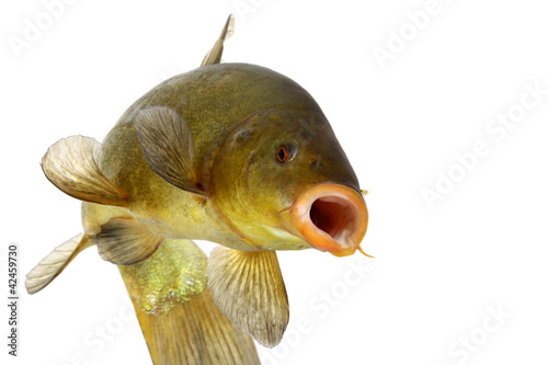colored fish swimming free, carp, tench