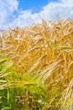 yellow wheat in cloud blue sky background
