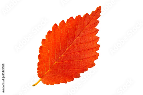 Red autumn leaf elm isolated on white background