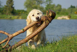 Golden retriever portant une grosse branche