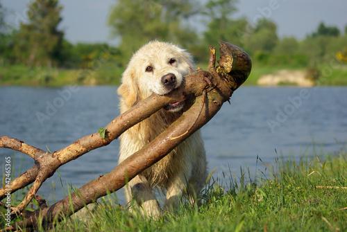 Golden retriever portant une grosse branche