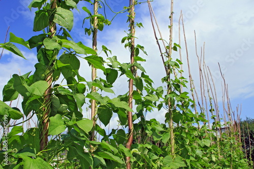 Young stalks of a string bean on poles
