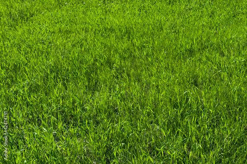 Green grass on the lawn , grass texture