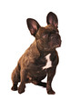 french bulldog with big ears