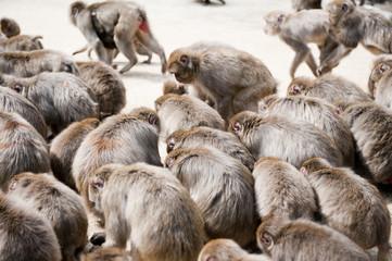 餌を食べる猿の群れ