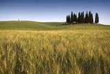 Toscana, campo di grano con cipressi