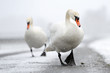 Two Mute Swans walking close up.
