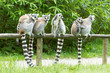 Ring-tailed lemur in captivity