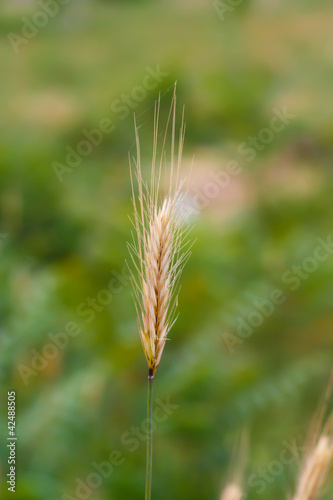 an ear of wheat on a green background