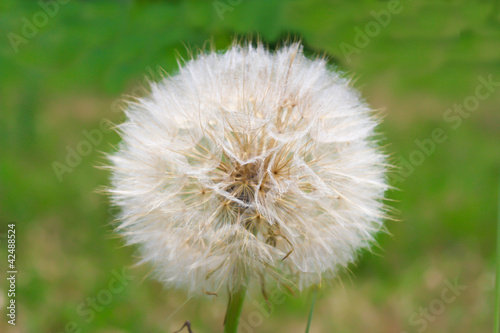 Dandelion over green outdoor background