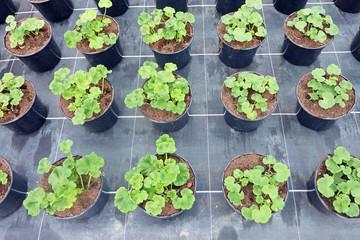 Plants de géranium