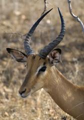Impala, Kruger National Park