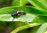larval asian ladybird