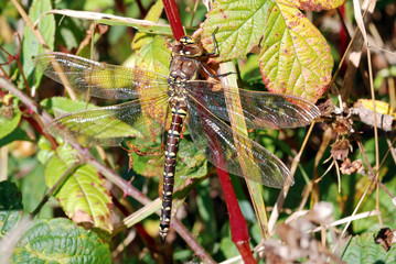 Brown Hawker Dragonfly Female