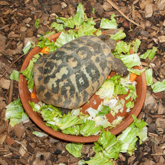Hermann's Tortoise, turtle in a salad bowl