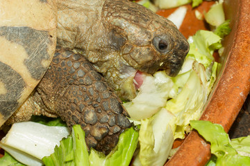 Hermann's Tortoise, turtle eating salad