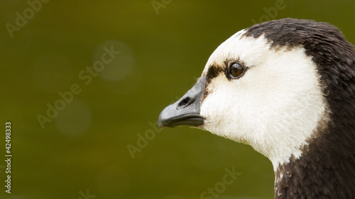 Close-up of a Barnacle Goose