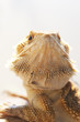 Bearded dragon in vivarium shot in portrait