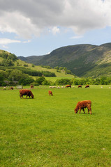 Cattle in fields near Fortingall