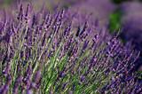 Fototapete Aromatisch - Blooming - Kultur