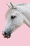 Arabian stallion on a rose background