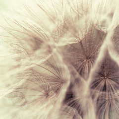 Abstract closeup of a meadow salsify © B. and E.  Dudziński