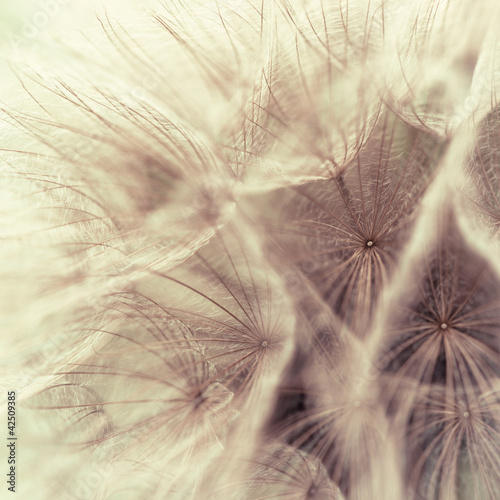 Abstract closeup of a meadow salsify - 42509385