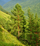Cedar pines on an abrupt hillside in Altai mountines
