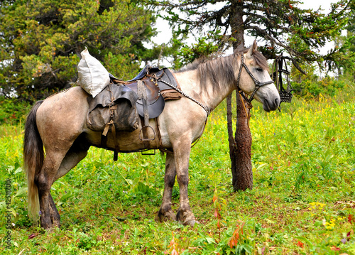 Horse at Altai mountains in summer