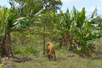 élevage et nature en Guadeloupe