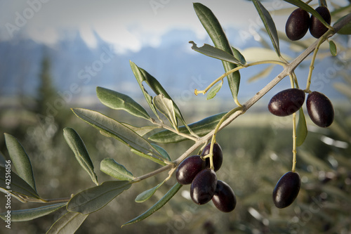 olives trees with snow-capped mountains in background