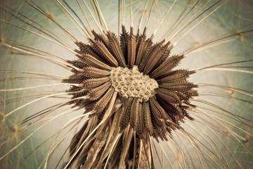 Close-up of old dandelion