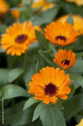 Orange calendula officinalis