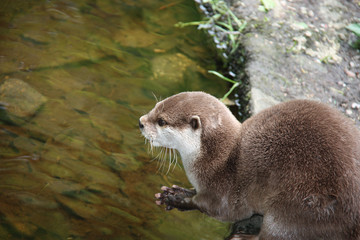 A Very Cute Otter Looking Over the Water.