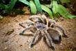 Leinwanddruck Bild - Tarantula