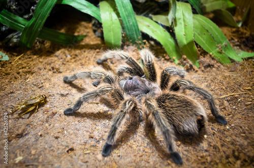 Leinwanddruck Bild Tarantula