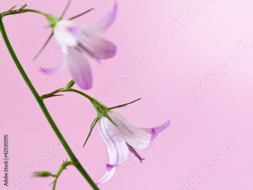delicate bell flower