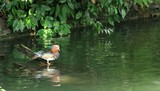 mandarin duck which does preening
