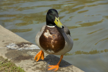 colorful mallard duck