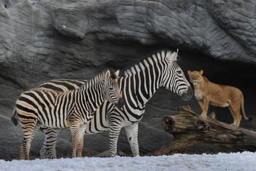 Zebra und Loewe