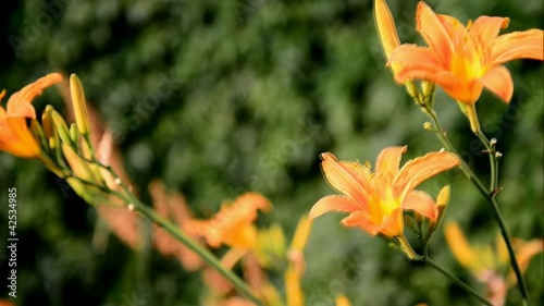 HD of yellow lily on the wind