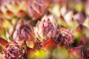 Sempervivum arachnoideum `Rubrum´-Steingartenpflanze Hauswurz