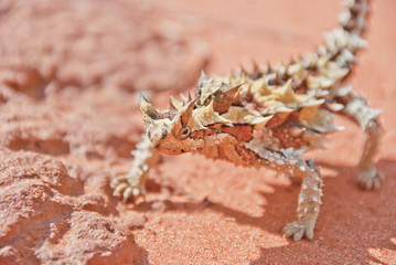 Thorny Devil Lizard on red outback sand and rocks