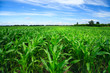 Green corn field - 42543932