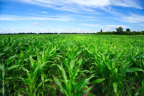Green corn field - 42543932
