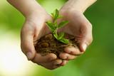 Młoda roślina w dłoniach - 42544342