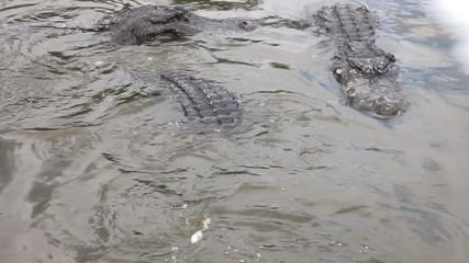 Hungry Alligators in a floridian swamp