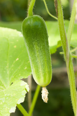 Growing cucumber in a greenhouse. It is cultivated in the garden